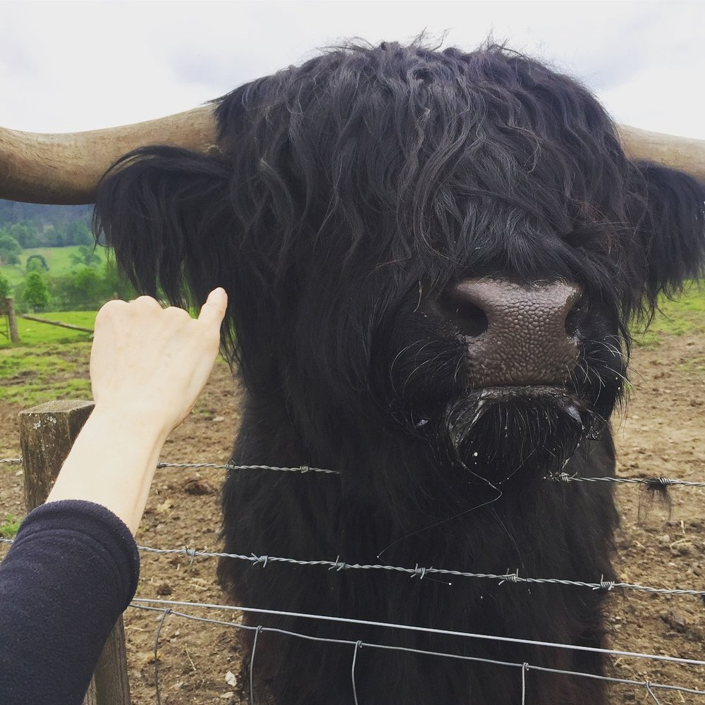 Highland Cattle trip to europe